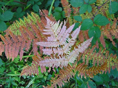Ferns L'Isle-Adam