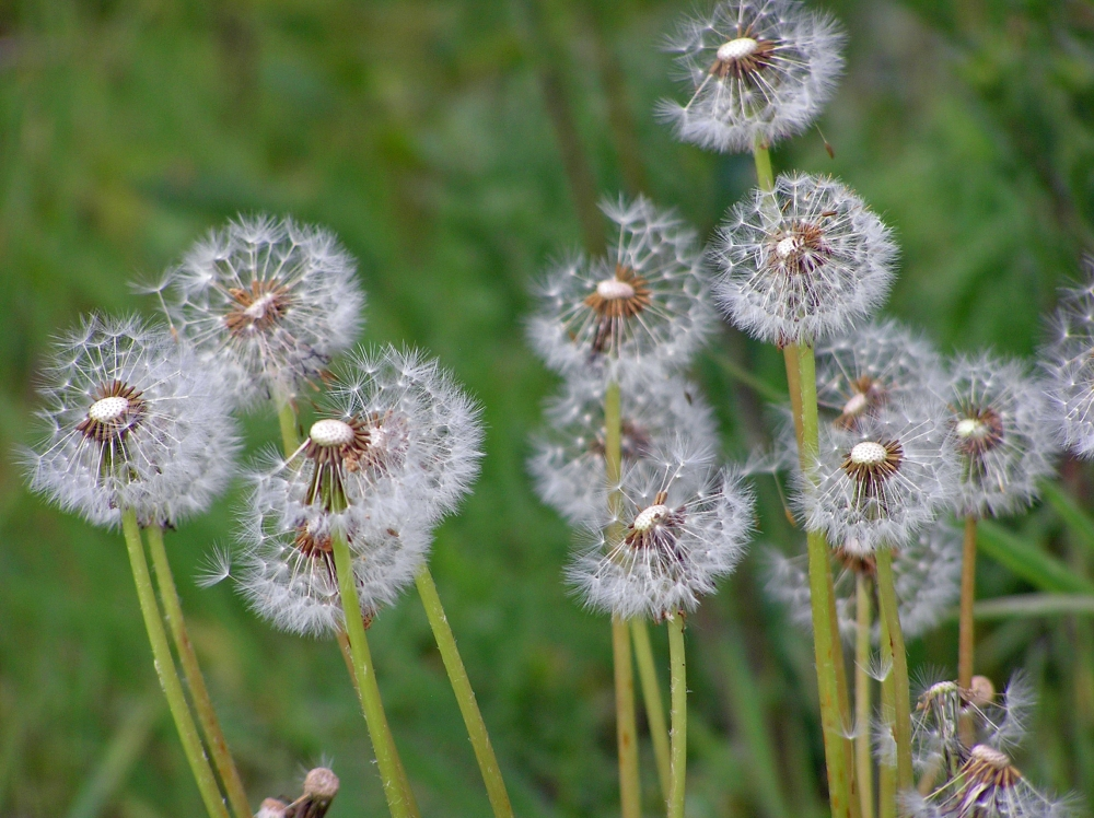 Wild Flowers: The Dandelion (1/3)