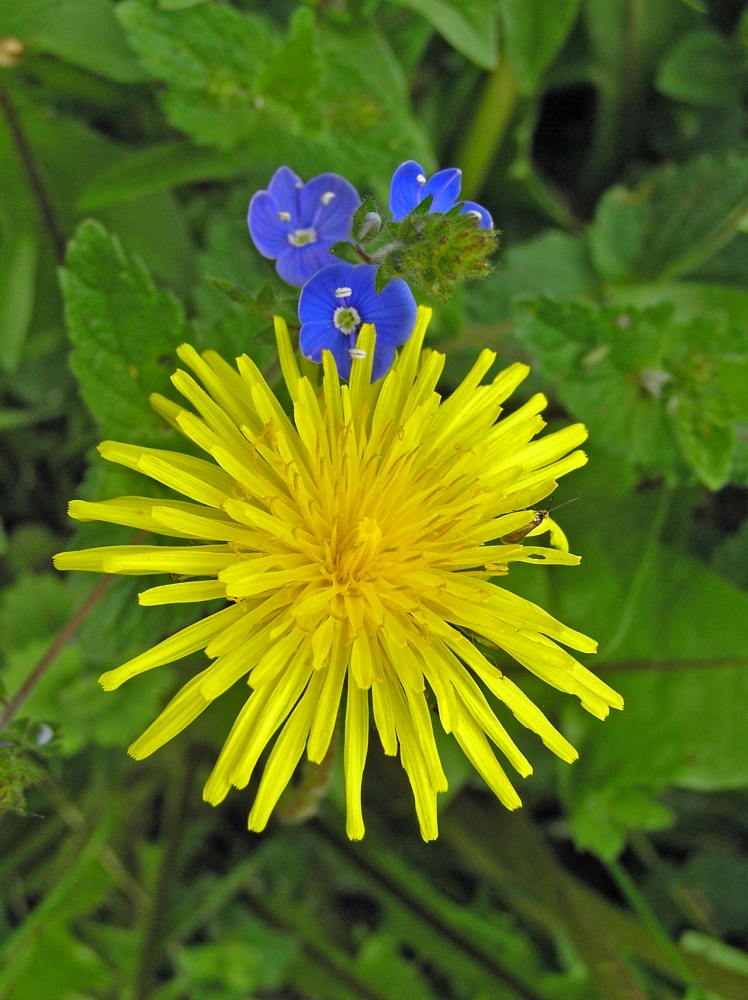 Wild Flowers: The Dandelion (2/3)