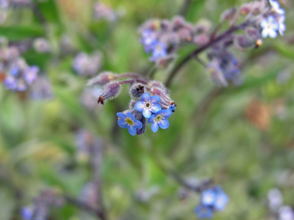 Wild Flowers:  Forget-me-not (4/4)