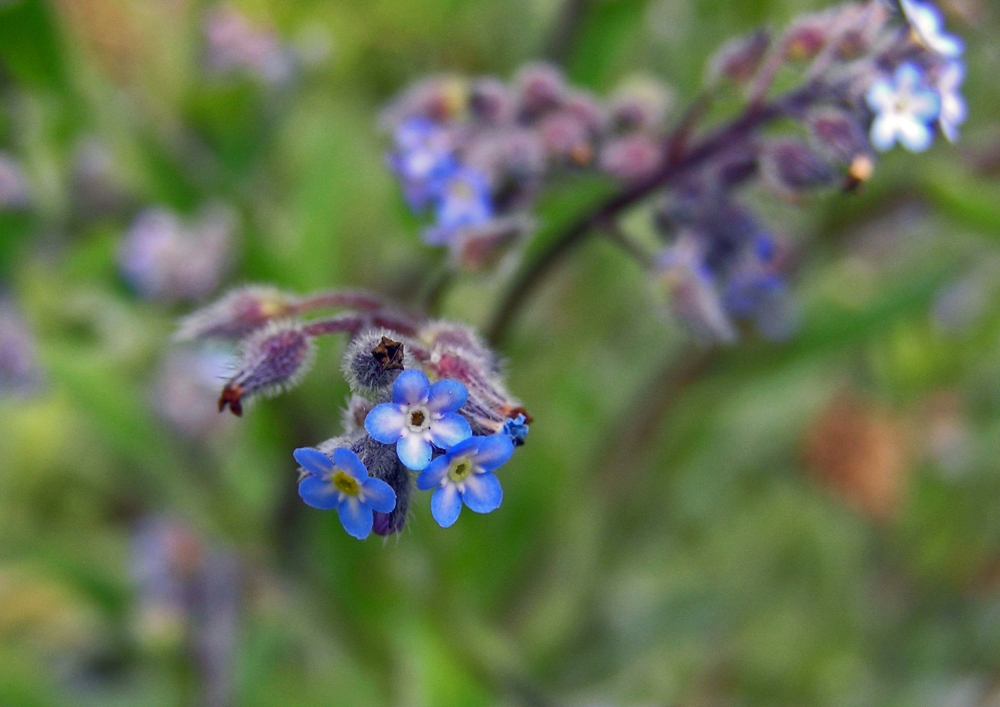 Wild Flowers:  Forget-me-not (3/4)