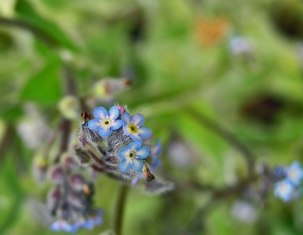 Wild Flowers:  Forget-me-not (1/4)