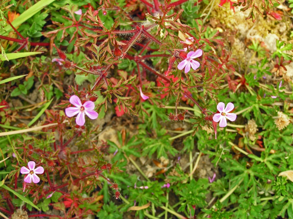 Wild Flowers:  Herb Robert (1/4)