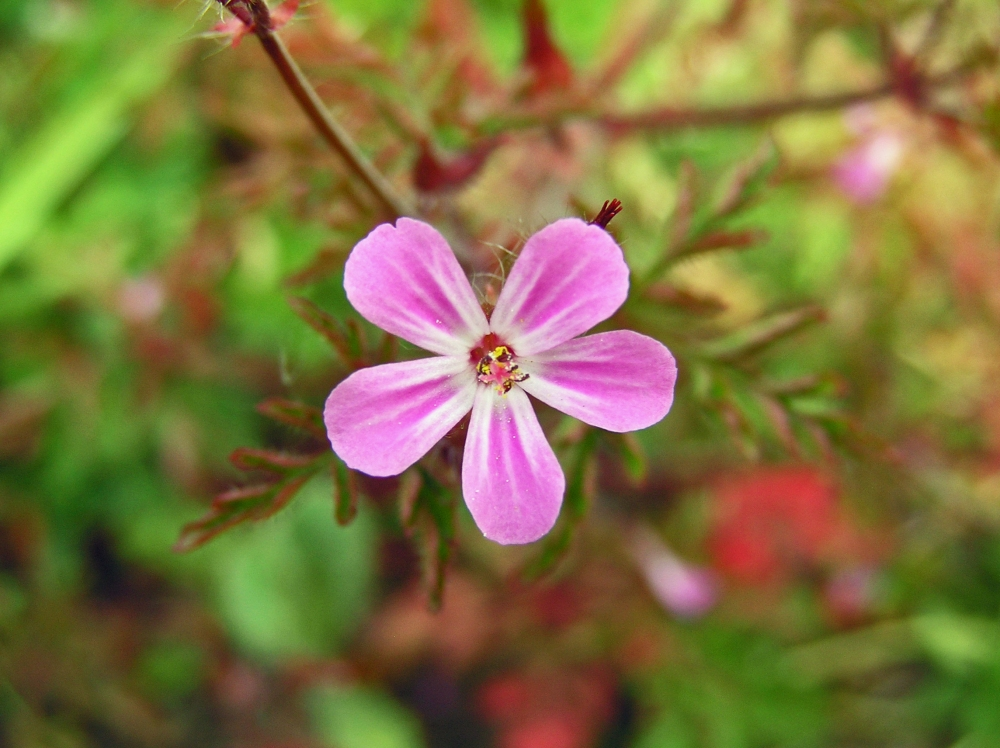 Wild Flowers:  Herb Robert (2/4)