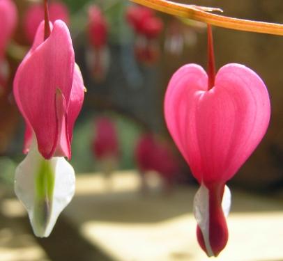 Bleeding Heart (Dicentra Spectabilis)