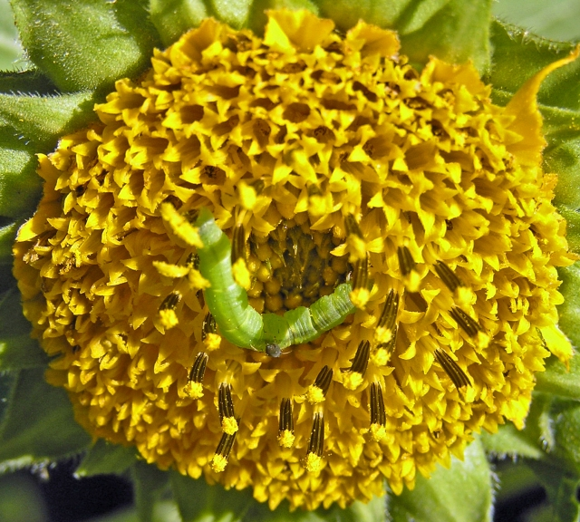 Sunflower & Caterpillar