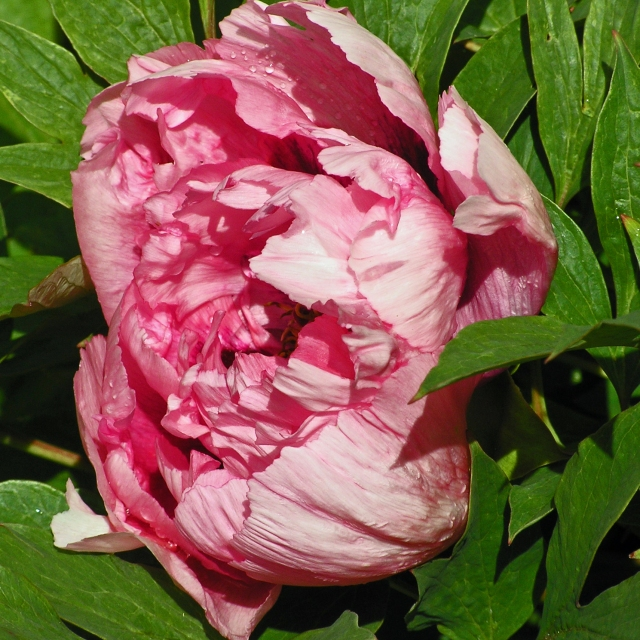 Pink Peony, C's Garden Spring 2013