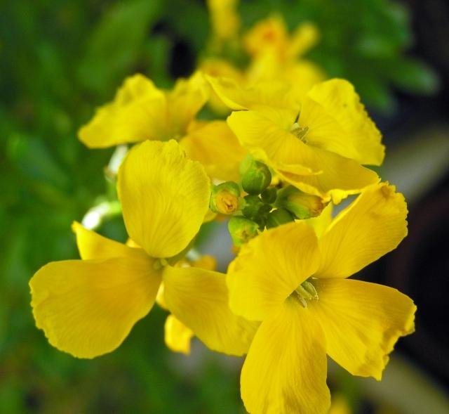 Yellow Flowers C's Garden Spring 2013