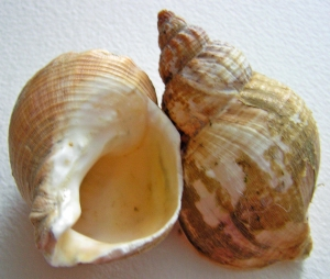 Large Shells, Washed Ashore, Margate