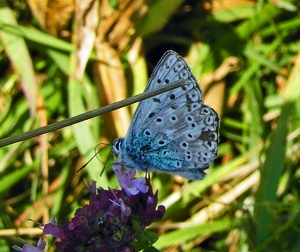 Butterfly: Common Blue (Polyommatus icarus)