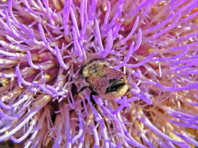 Globe Artichoke in Flower With Bee