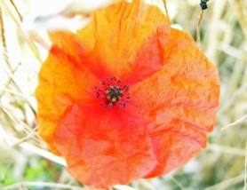Poppy, St Margaret's, August 2013