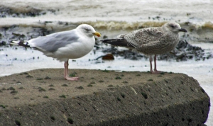 Seagulls Mother and Child St Margaret's Bay Kent