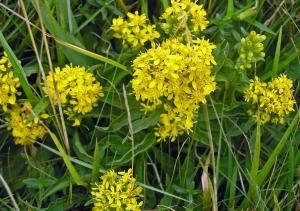 Wild Flowers White Cliffs St Margarets Bay Kent