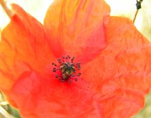 Poppy Near White Cliffs, Dover