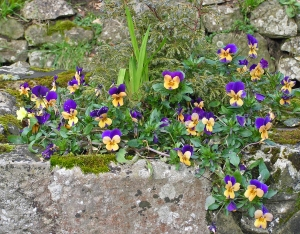 Gold and purple viola in stone urn, Aylesford Priory, Kent March 2014