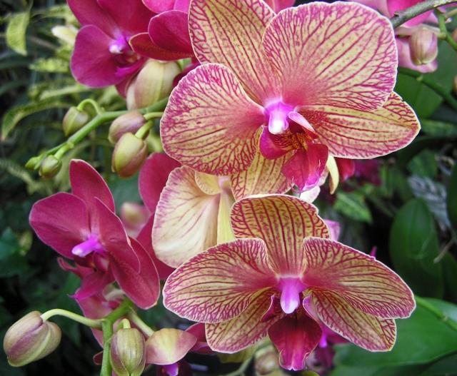 Orchid RHS Wisley