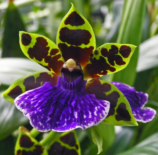 Orchid RHS Glasshouse
