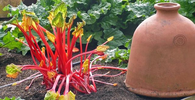 Forced Rhubarb and Ceramic Forcer RHS Gardens Wisley