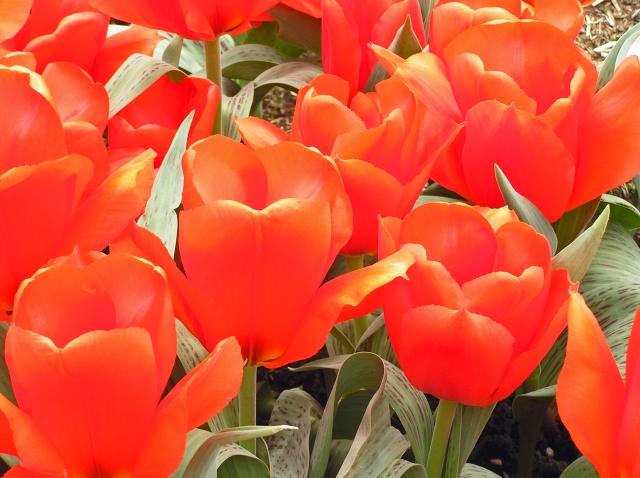 Vermilion Tulips Wisley