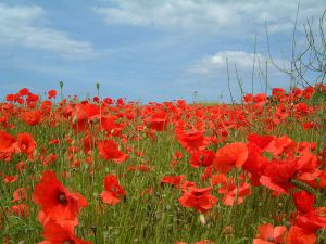 Poppies, by John Beniston