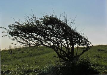 Wind-Warped Thorn St Margarets 2015