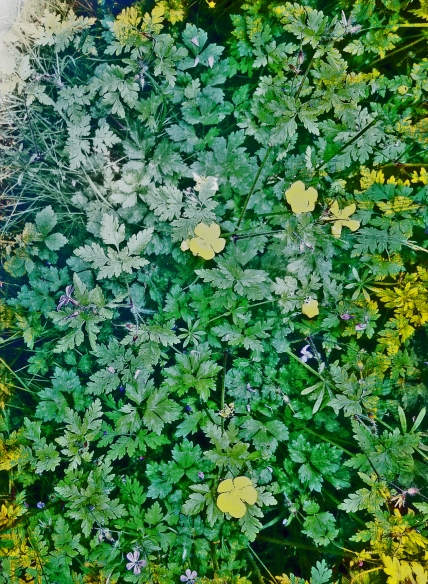 Buttercups and Herb Robert Norfolk June 2016