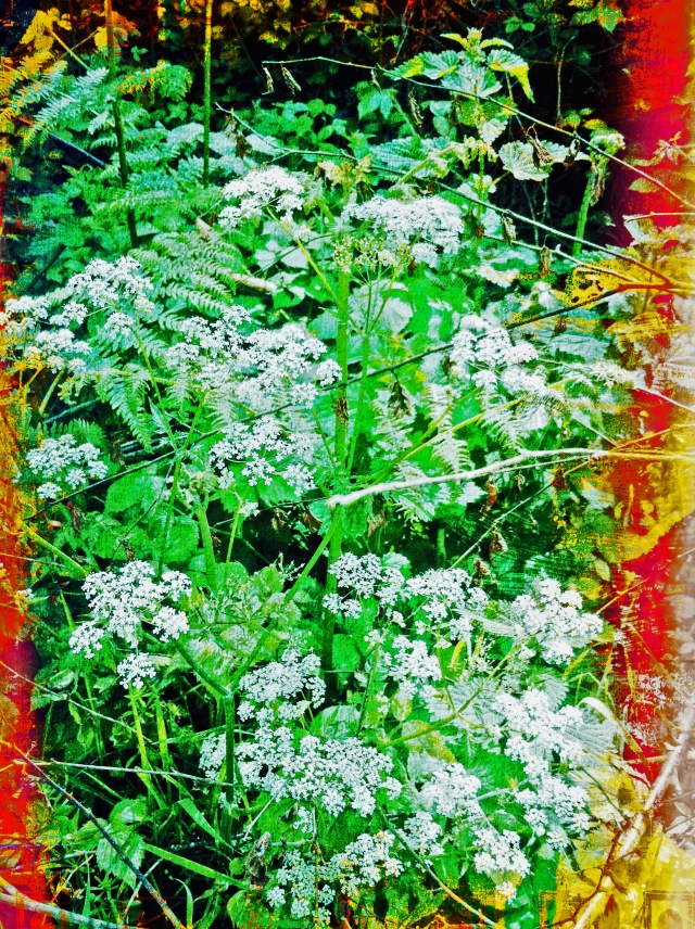 Cow Parsley June 2016