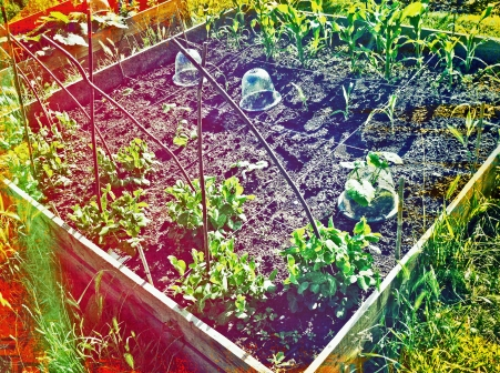 Allotment: 16-square with sweetcorn, mangetout,