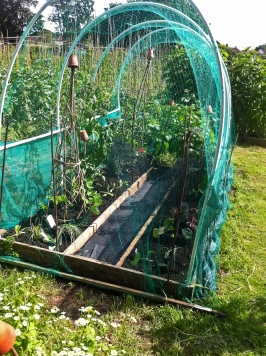 Hoop House Beans Aubergines Cucumber Lettuce Garlic Chives Lottie 9 July 2016