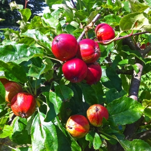 Red Apples Lottie 9 July 2016