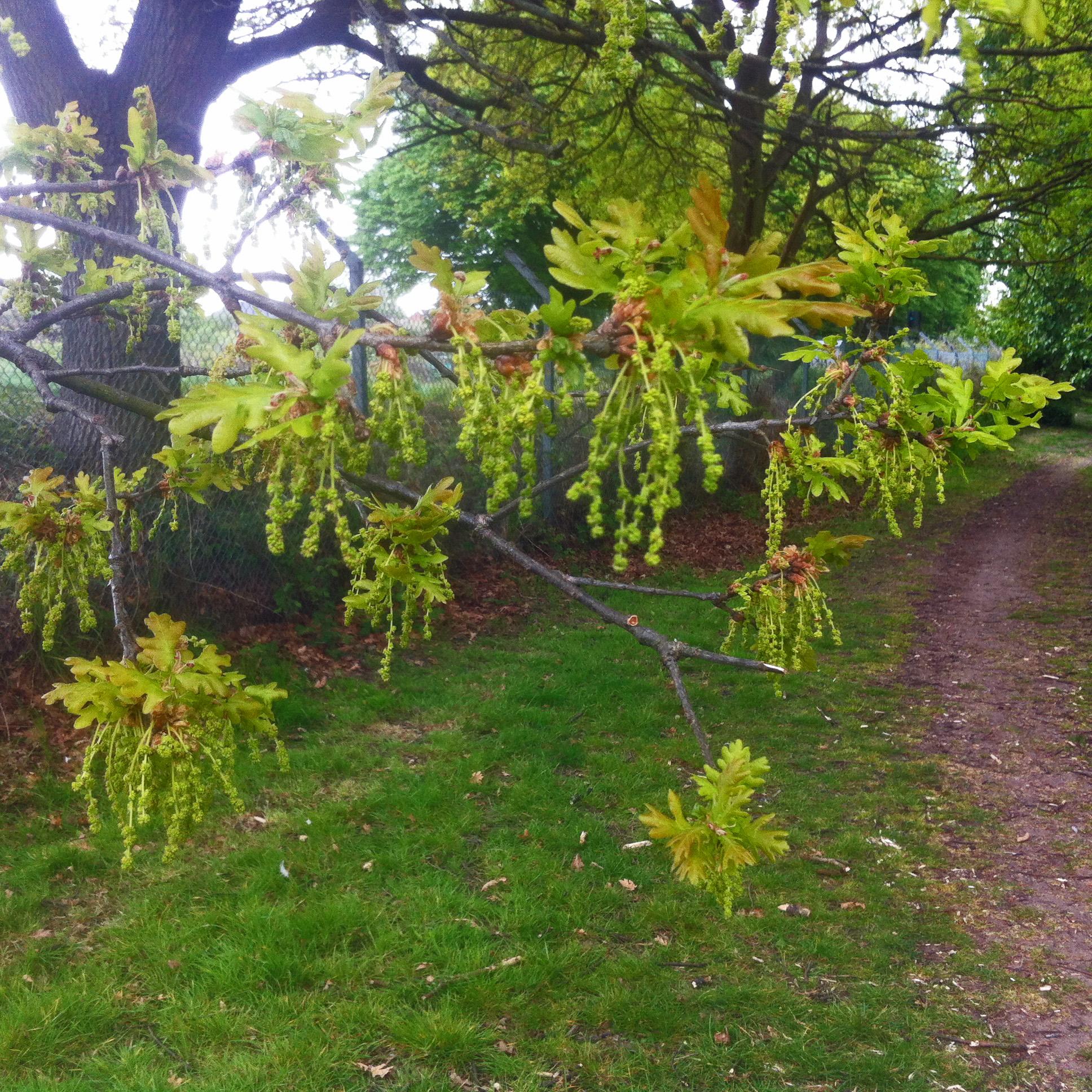 Old Farm Park I Oak Flowers 21 April 2017